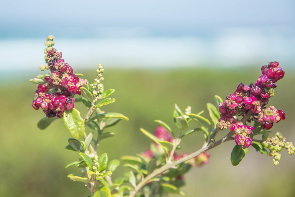 flowers and berries at the beach of tasmania